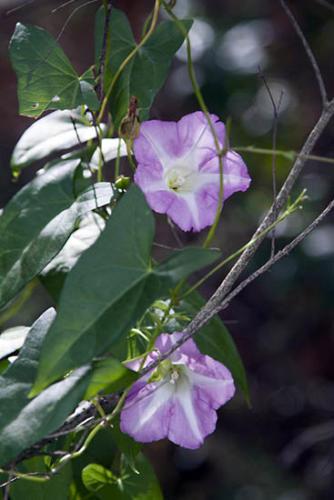 calystegia-sepium-subsp-roseata-large-bindweed-2