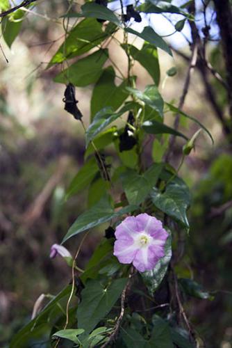 calystegia-sepium-subsp-roseata-large-bindweed-3