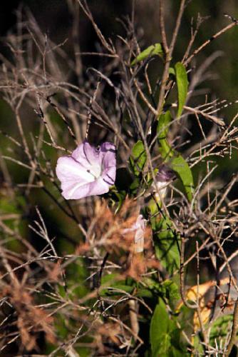 calystegia-sepium-subsp-roseata-large-bindweed