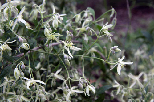 clematis-microphylla-kirsner