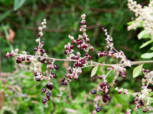 rhagodia-candolleana-ssp-candolleana-seaberry-saltbush-1