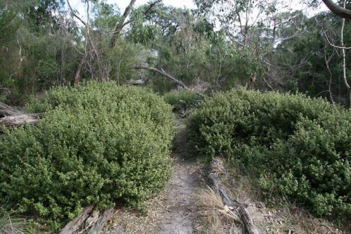 correas-bordering-the-path-through-the-bunyip-kirsner