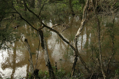 melaleucas-over-the-creek