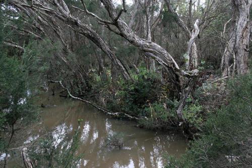 melaleucas-over-upper-reaches-of-creek-kirsner