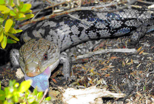 blotched-blue-tongue-legg
