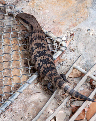 blue-tongued-lizard-on-the-doorstep