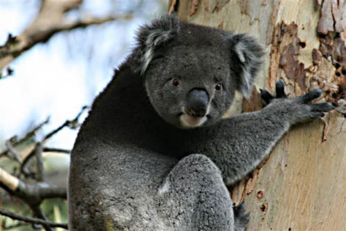 koala-pam-h