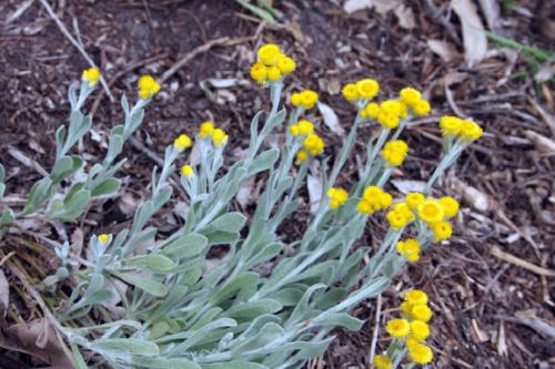 chrysocephalum-apiculatum