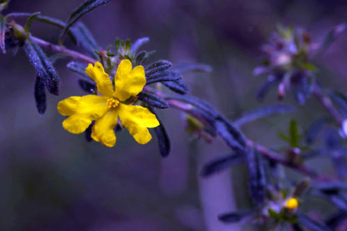 hibbertia-sp