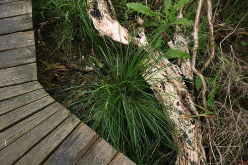 poa-labillardieri-large-tussock-grass-kirsner