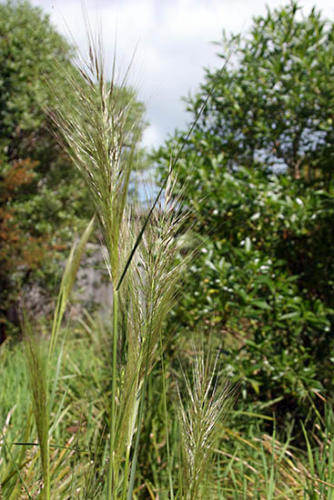 stipa-stipoides-2-kirsner