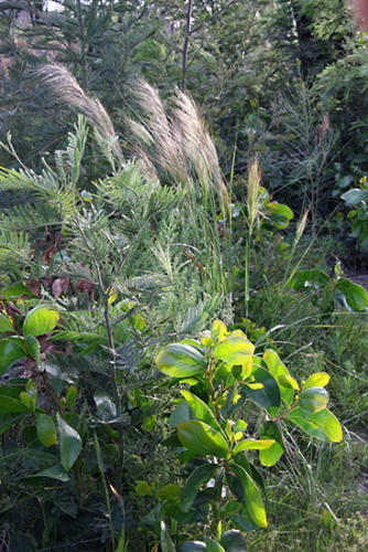 stipa-stipoides-with-wattles-kirsner