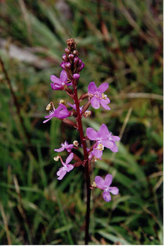 stylidium-trigger-plant-kirsner