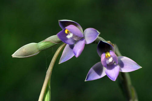thelymitra-pauciflora-slender-sun-orchid-kirsner