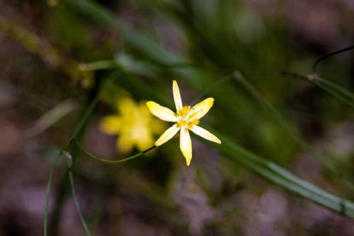 tricoryne-elatior-yellow-rush-lily