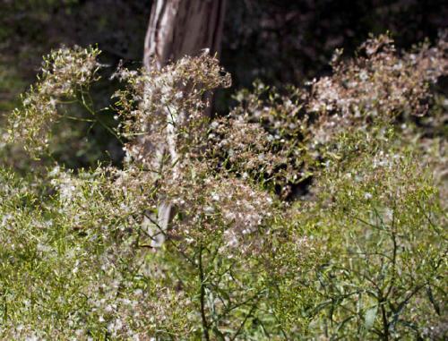 senecio-minimus-shrubby-fireweed-1