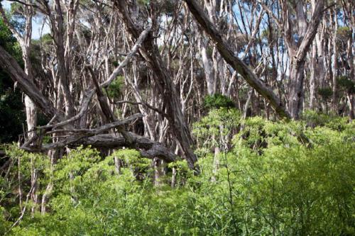 senecio-minimus-shrubby-fireweed-3