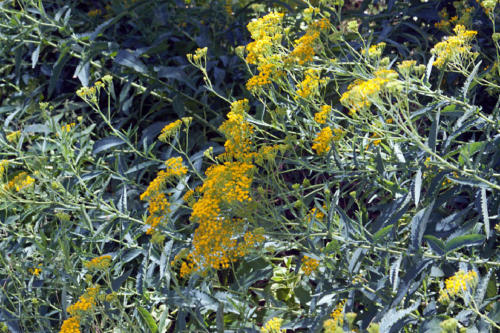 senecio-odoratus-scented-groundsel