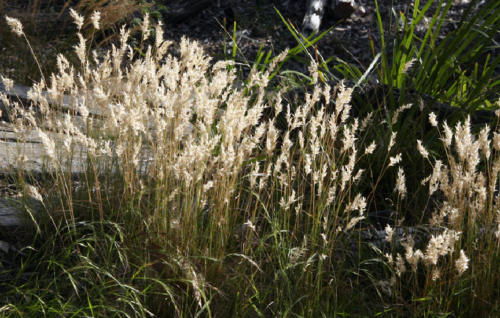 austrodanthonia-sp-wallaby-grass