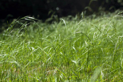 microlaena-stipoides-var-stipoides-weeping-grass-1