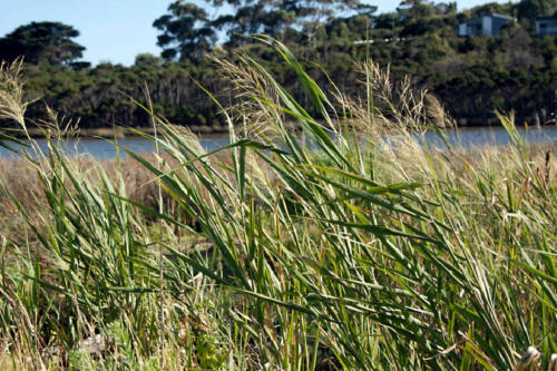 phragmites-australis-common-reed