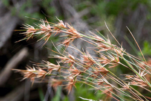 themeda-triandra-kangaroo-grass