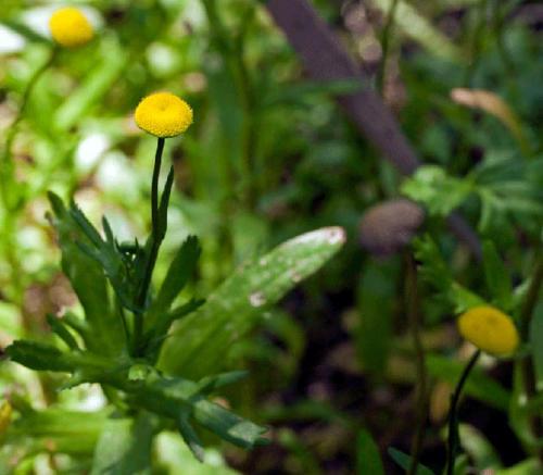 cotula-coronopifolia-water-buttons-2