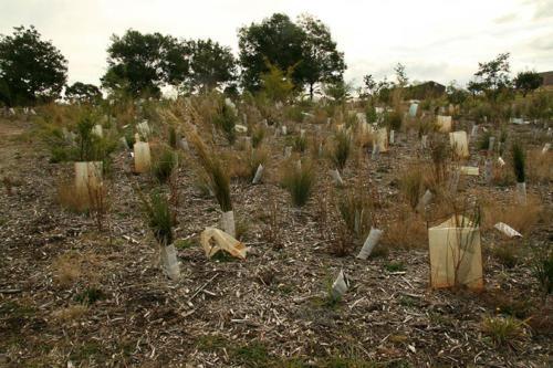 century-drive-plantings-behind-retarding-basin-2009-kirsner