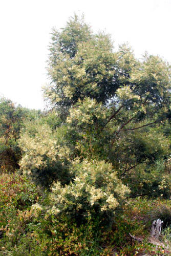 acacia-mearnsii-black-wattle-2