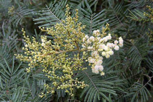 acacia mearnsii black wattle