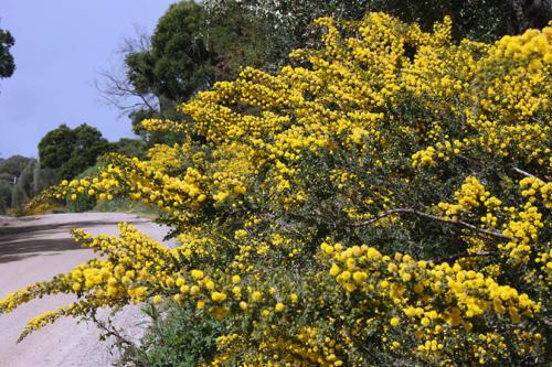 acacia-paradoxa-hedge-wattle-kirsner