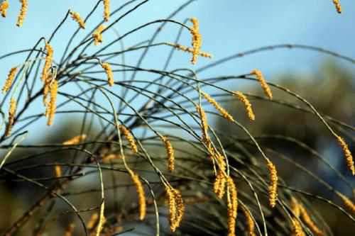 allocasuarina-verticillata-drooping-sheoak-male-flowers