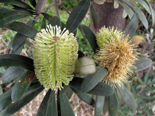 banksia-integrifolia-coast-banksia-1-kirsner