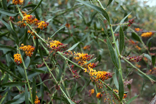 daviesia-latifolia-hop-bitter-pea