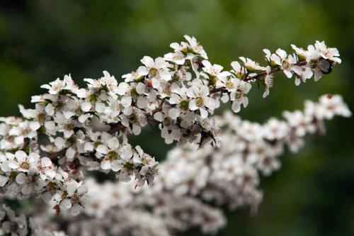 leptospermum-continentale-prickly-tea-tree-1