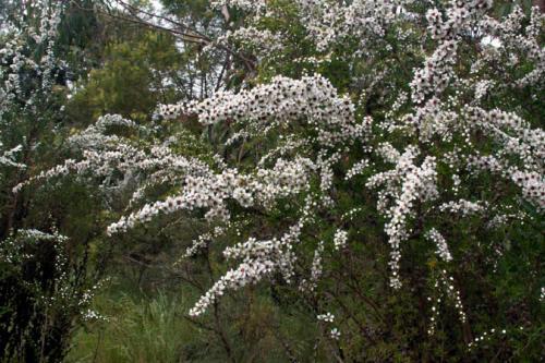 leptospermum-continentale-prickly-tea-tree-2