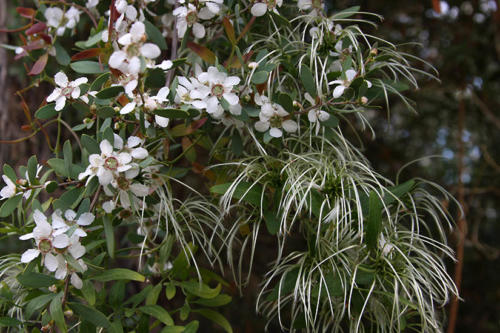 leptospermum-laevigatum-coast-tea-tree
