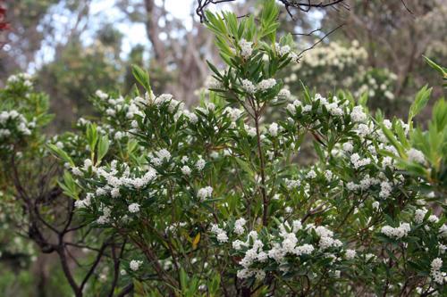 leucopogon-parviflorus-beard-heath-kirsner