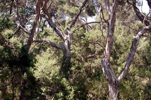melaleuca-ericifolia-5-kirsner