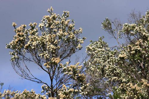 melaleuca-ericifolia-swamp-paperbark-2-kirsner