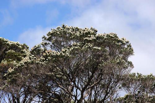 melaleuca-ericifolia-swamp-paperbark-3-kirsner