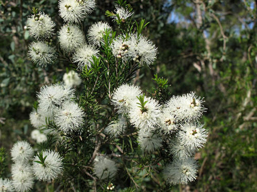 melaleuca-ericifolia-swamp-paperbark-4-kirsner