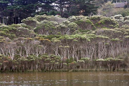 melaleuca-ericifolia-swamp-paperbark-kirsner
