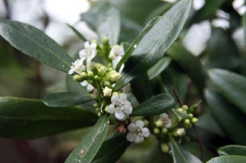 myoporum-insulare-boobialla