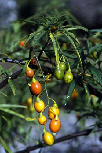 solanum-aviculare-kangaroo-apple-3
