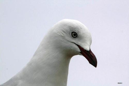silver-gull-hindley