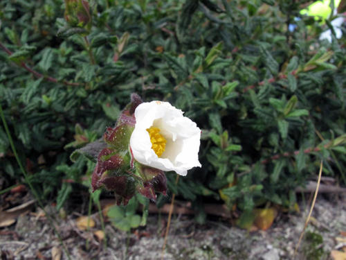 cistus-rock-rose-kirsner