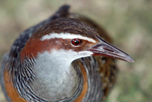 buff-banded-rail-keith-hindley