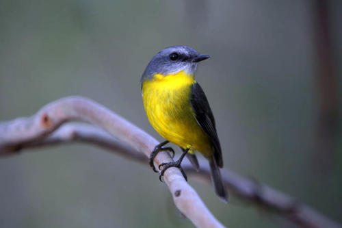 eastern-yellow-robin-hindley