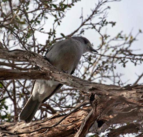 grey-shrike-thrush